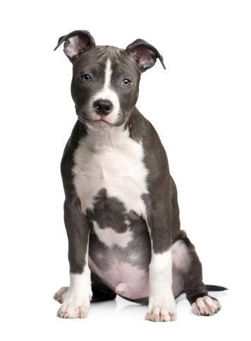 Innocent Face With Images American Staffordshire Terrier