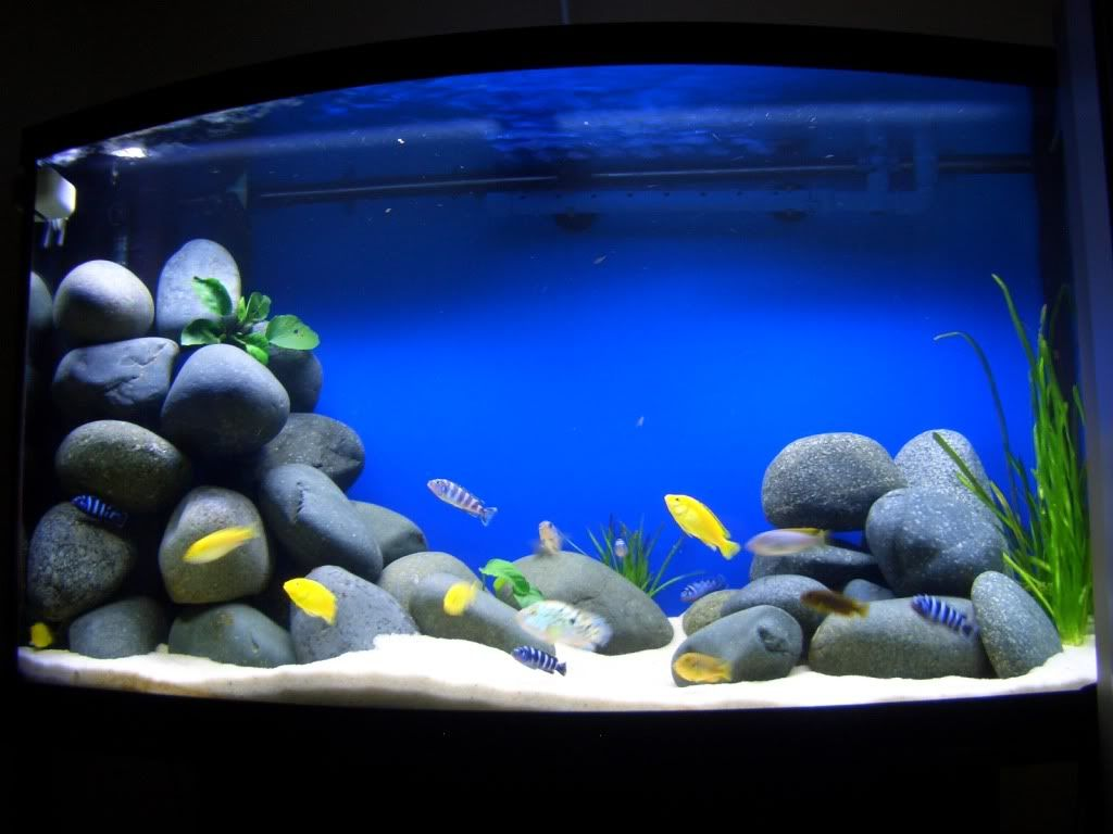 Yellow fish on blue background aquarium marine theme for African cichlid tank decoration