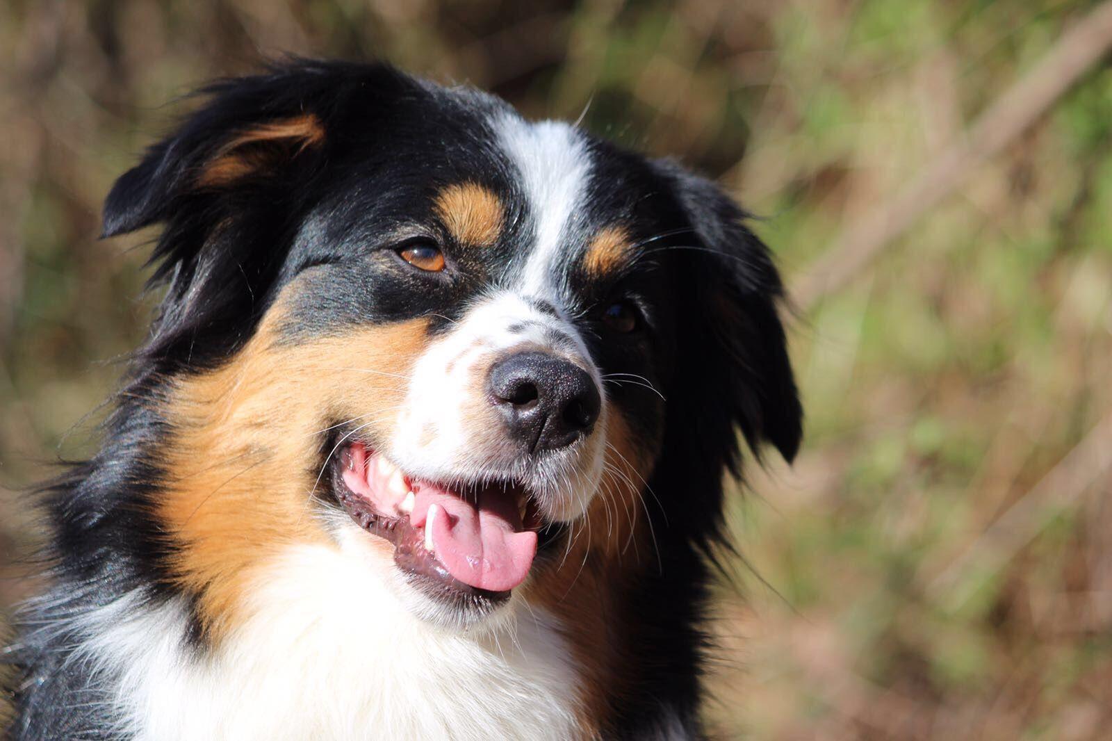 Mountain Dog Ozzy Our Mini Aussie