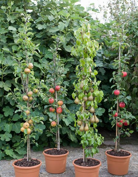 Cordon Fruit Trees In Containers