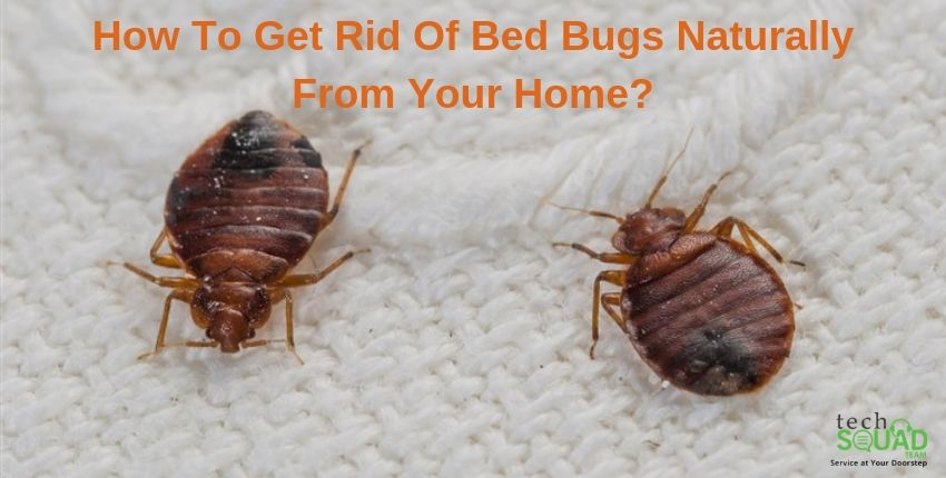 How To Get Rid Of Bed Bugs Naturally From Your Home Bed Bugs