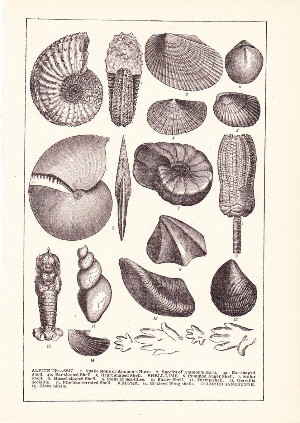 1902 sea shell print vintage antique home decor art illustration
