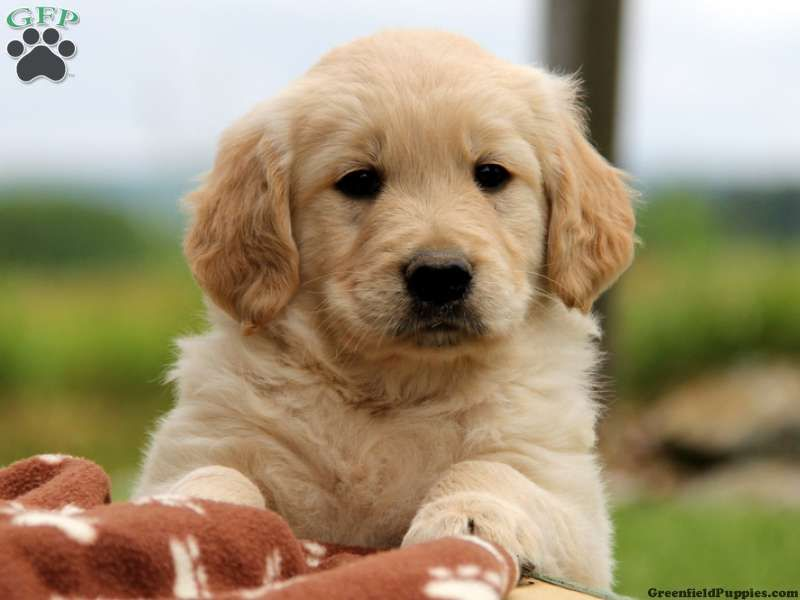 Norbert Golden Retriever Puppy For Sale From Gap Pa Retriever
