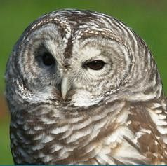 Barred Owl At Woodland Park Zoo Woodland Park Zoo Barred Owl Woodland Park