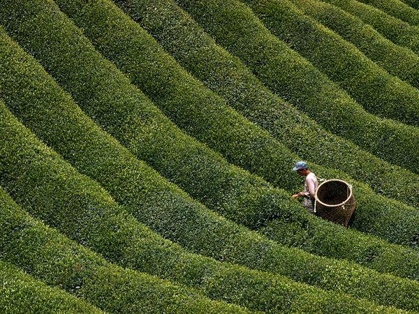 Escogiendo hojas para té Fotografía de Mobley