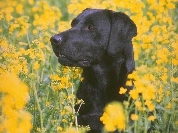 Wonderful Animal Wallpaper Black Labrador Retriever Dog Yard