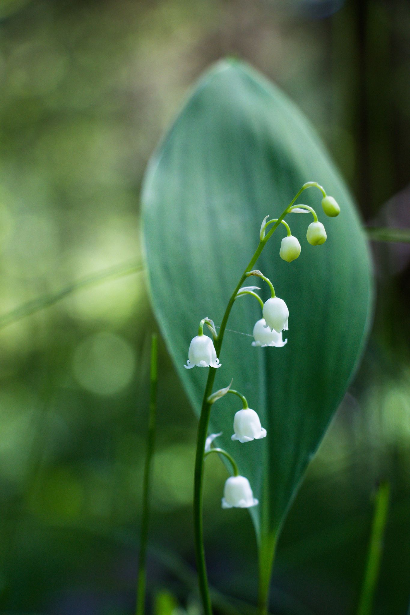 Lily Of The Valley Flowers Valley Flowers Flora And Flowers