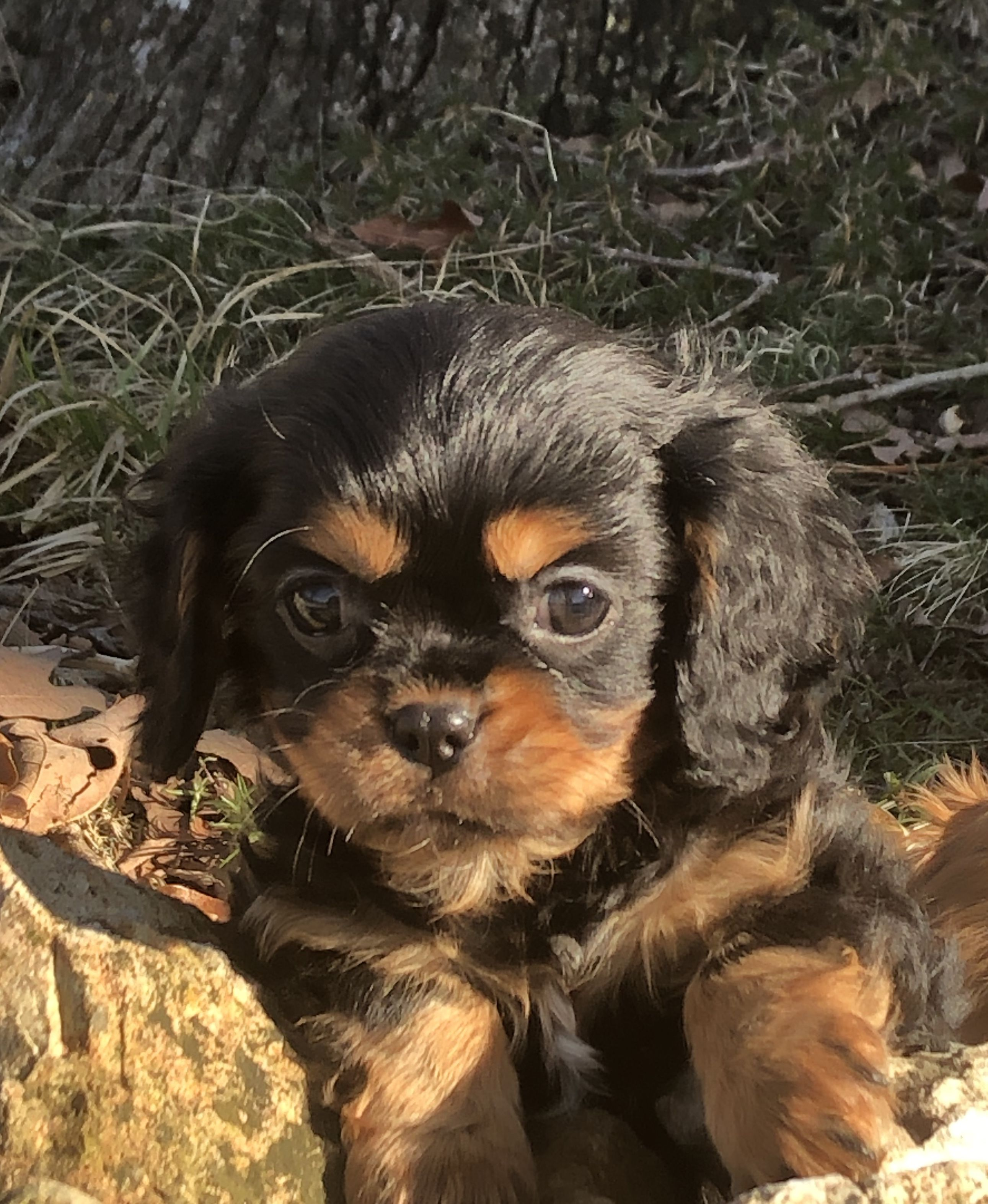 Carter male AKC Cavalier King Charles Spaniel puppy for