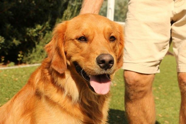 Adopt Keaton On Pets Golden Retriever Rescue Dogs Golden Retriever