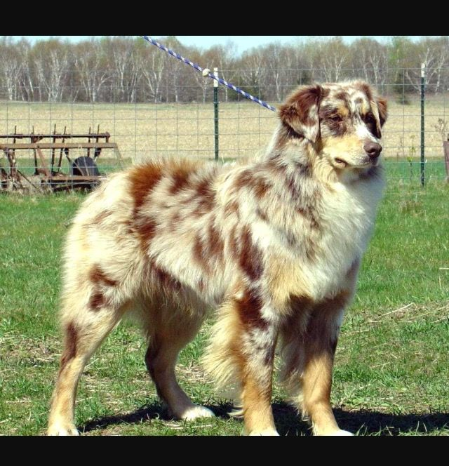 Australian Shepherd And Husky Mix Red Merle Australian Shepherd