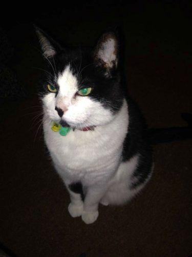 LOST Black and White Cat AscotVale Melbourne 3032