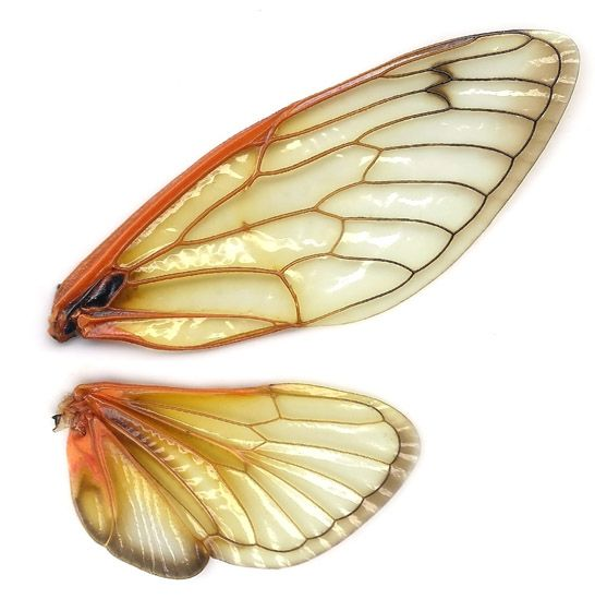 Magicicada_wings #insects