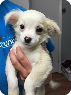 Papillonchihuahua Mix Puppy For Adoption In Fort Collins Colorado
