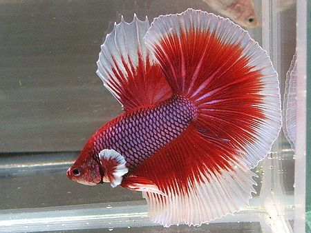 #halfmoon #butterfly #betta fish | Oceans & Seas ...