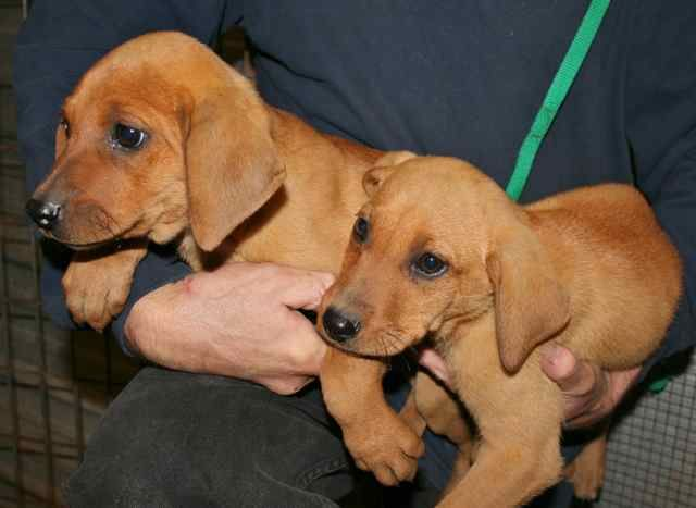 Crimson And Clover Are Two Female 10 Week Old Redbone Coonhound