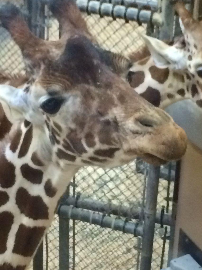 Giraffes are sassiest when no one's around