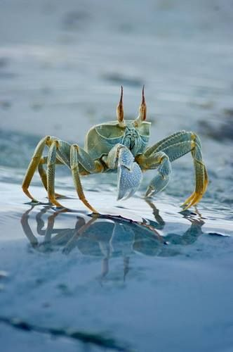 blue crab feisty little guy chesapeake bay shore drive inspiration pinterest ocean creatures and animal