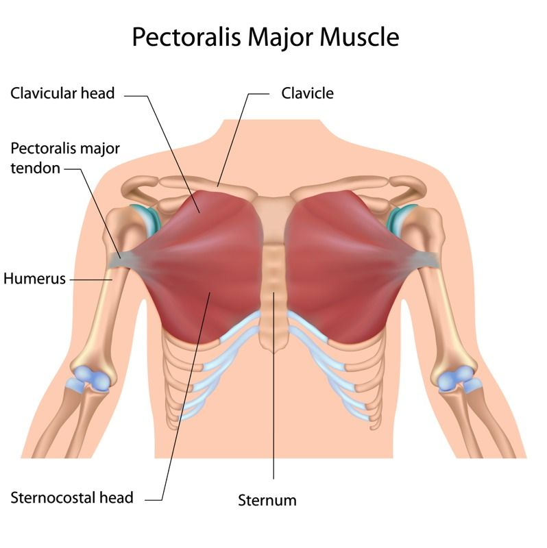 coracoid process pectoralis minor - google search | sports, Sphenoid