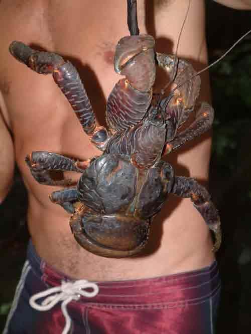 Coconut Crab | Coconut crab (Birgus latro) | Weird 'Creepy and very Sad | Coconut crab, Animals ...