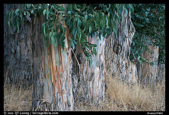 Silver Dollar Tree Eucalyptus Cinerea Zone 8 10 Height 40 Ft Width 40 Ft California Landscaping Shade Trees Monrovia Plants