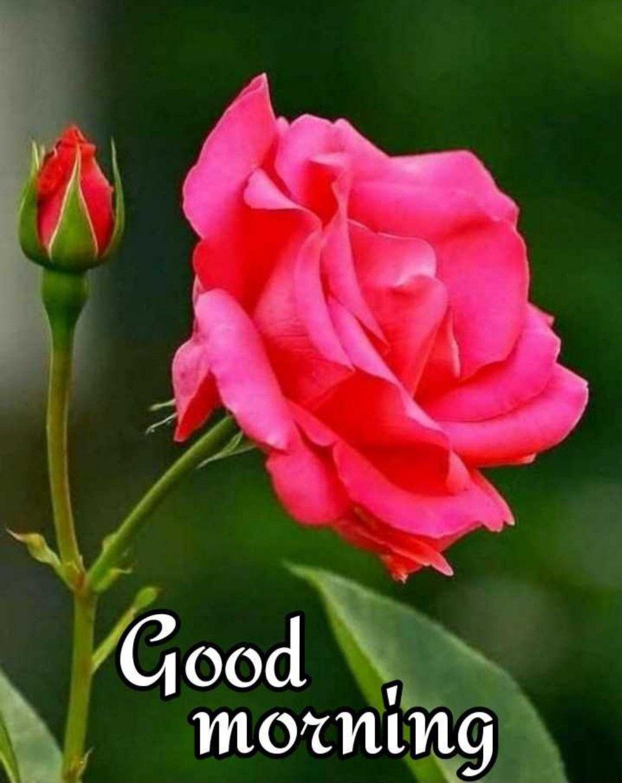 Bonne Journee Good Morning Images Flowers Good Morning Rose Images Good Morning Roses