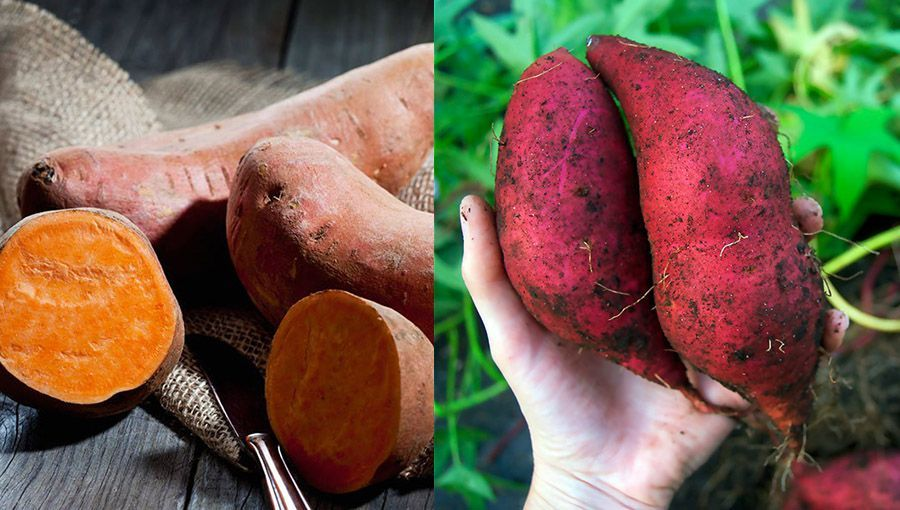 Sweet potatoes typically are simple to grow in all climates, even colder climates, though it may be a bit easier in the tropical and sub-tropical climates. In reality, the problem isn't growing the sweet potatoes, it is containing them so they don't become behemoths that take over all your growing space!