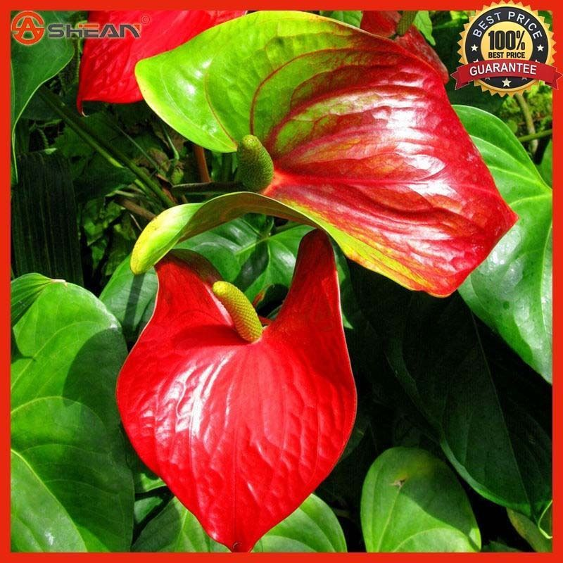 100 Anthurium Andraeanum Seeds Indoor Potted Flowers Red Anthurium Plant Seeds Anthurium Plant Anthurium Anthurium Flower