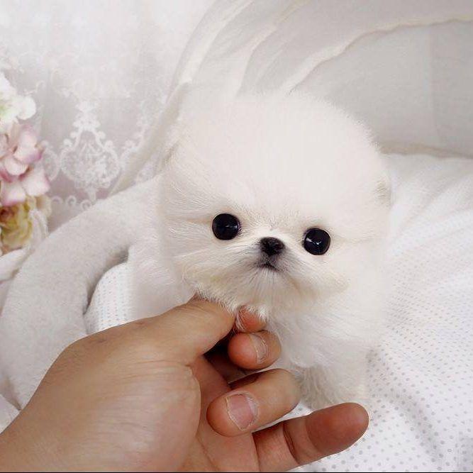 Perla White Micro Pomeranian Posh Pocket Pups Puppies