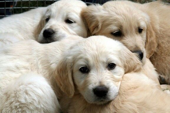 Labradors Are The Most Popular Breed Of Dog By Registered
