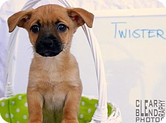 Twister Dachshund Mix Puppy For Adoption In Sacramento