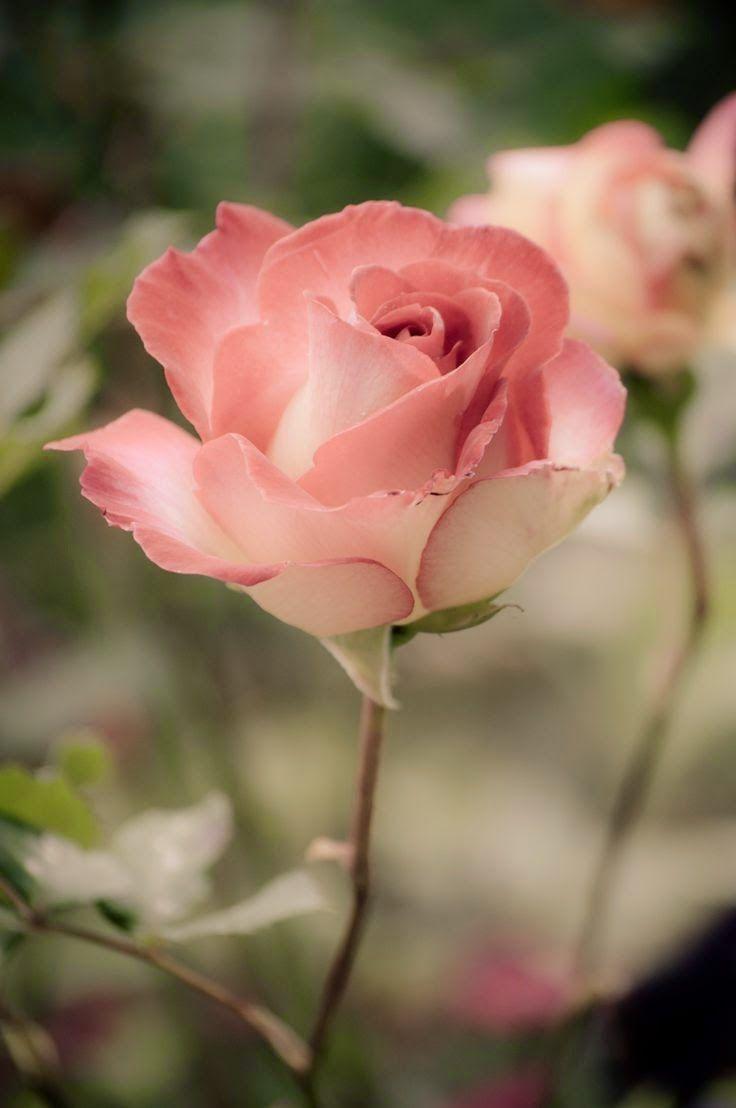 Pinky Lovely Roses Flower Rose Pinterest Rose Flowers And