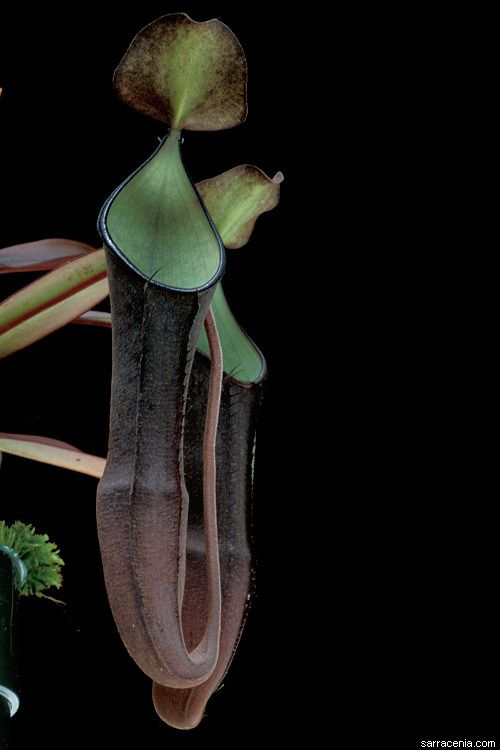 PITCHER PLANT NEPENTHES Ramispina Exotic Carnivorous 5 Rare Seeds
