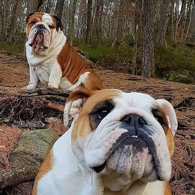 In the Moment * Baggy Bulldogs in 2020 Bulldog puppies