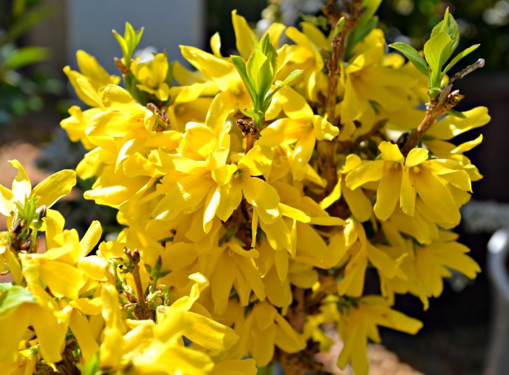 Trees Shrubs That Bloom In Early Spring With Images Spring