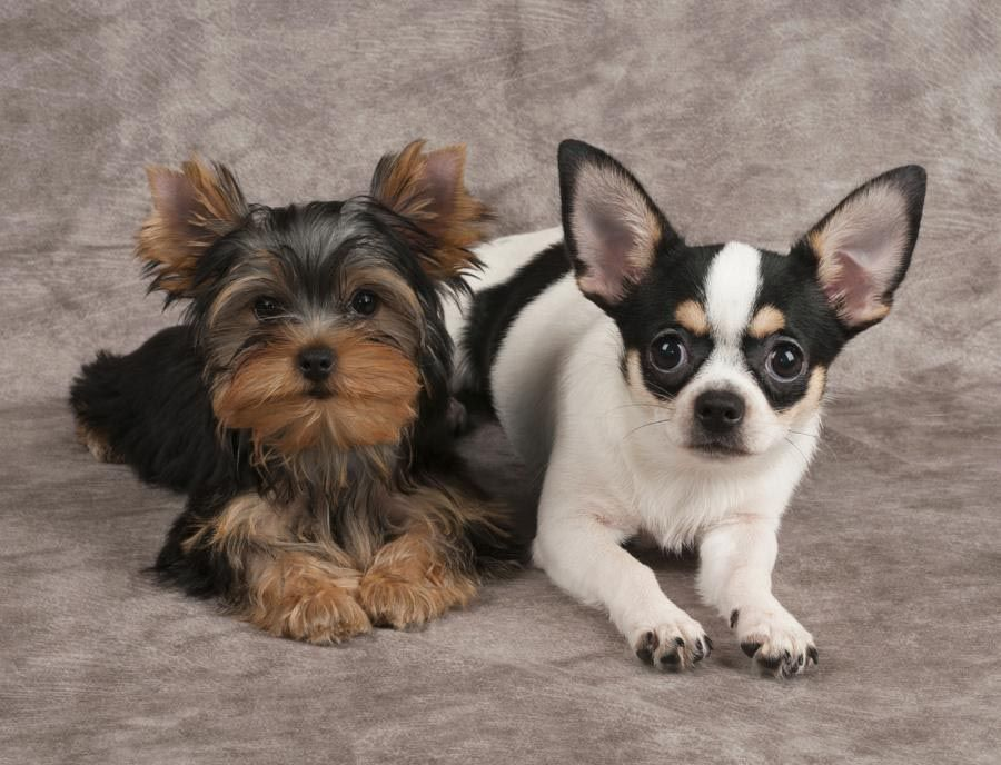 Yorkshire Terrier Cross Chihuahua Dog Dog Breed Information