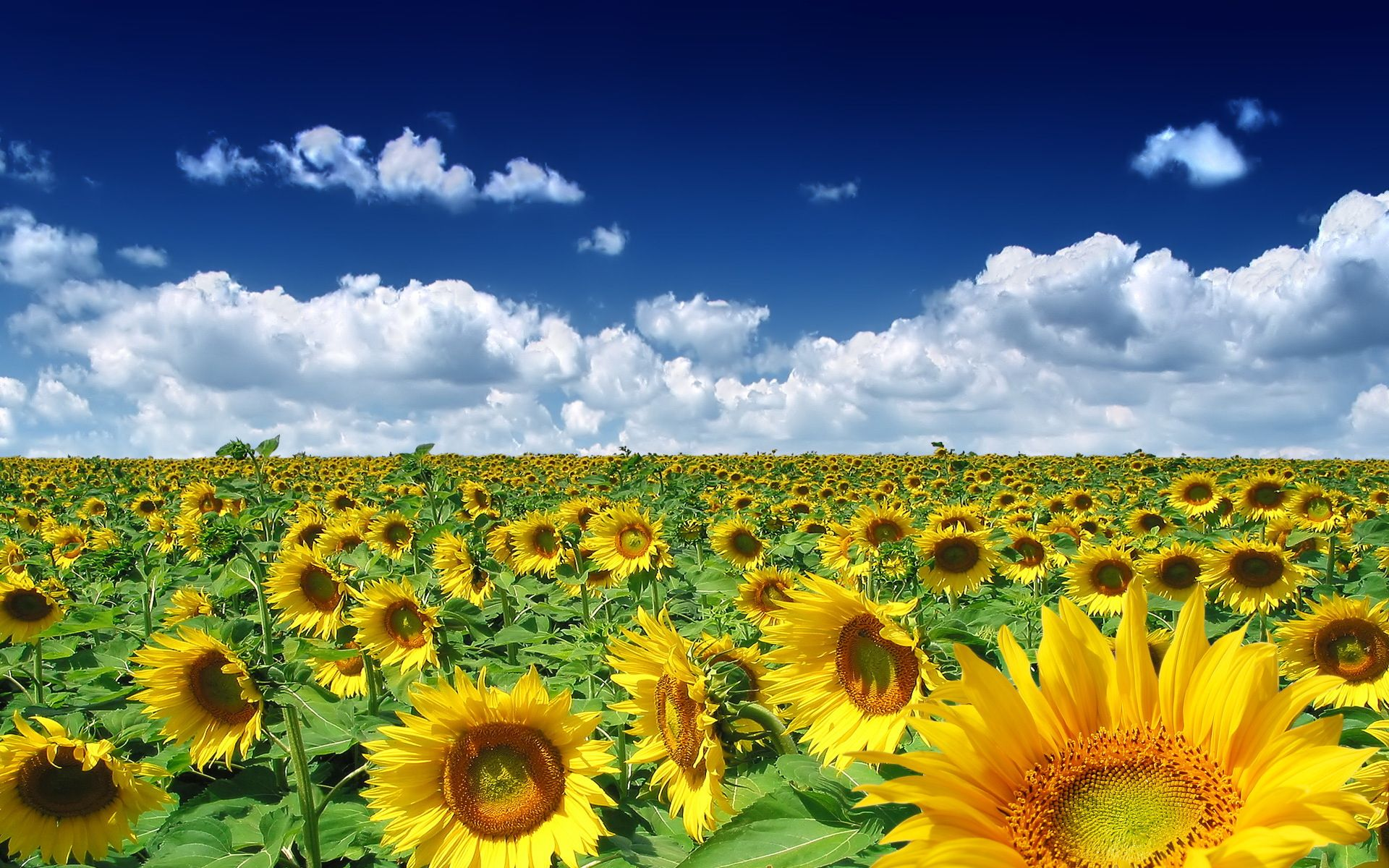 Sunflower Desktop Wallpapers Free Wallpaper
