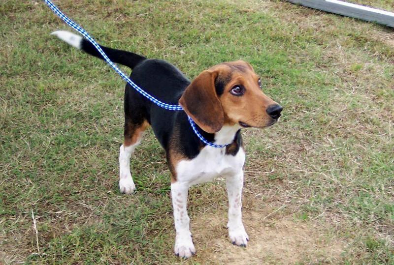 Adopt Beaux On Animal Shelter Beagle Dog Animals