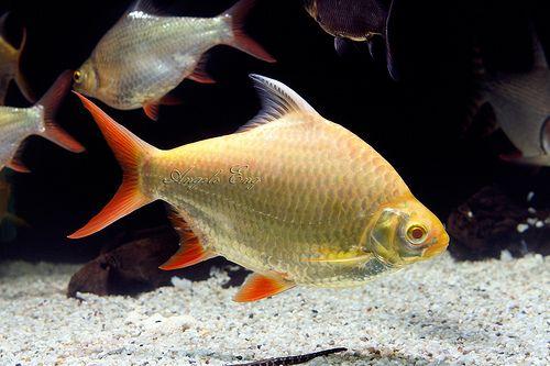 Tinfoil Barb Tropical Fish Beautiful Fish Tropical Freshwater Fish