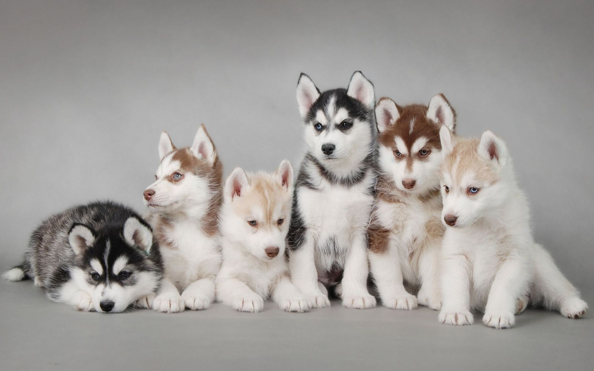 Siberian Huskies Come In A Variety Of Colors And Patterns The