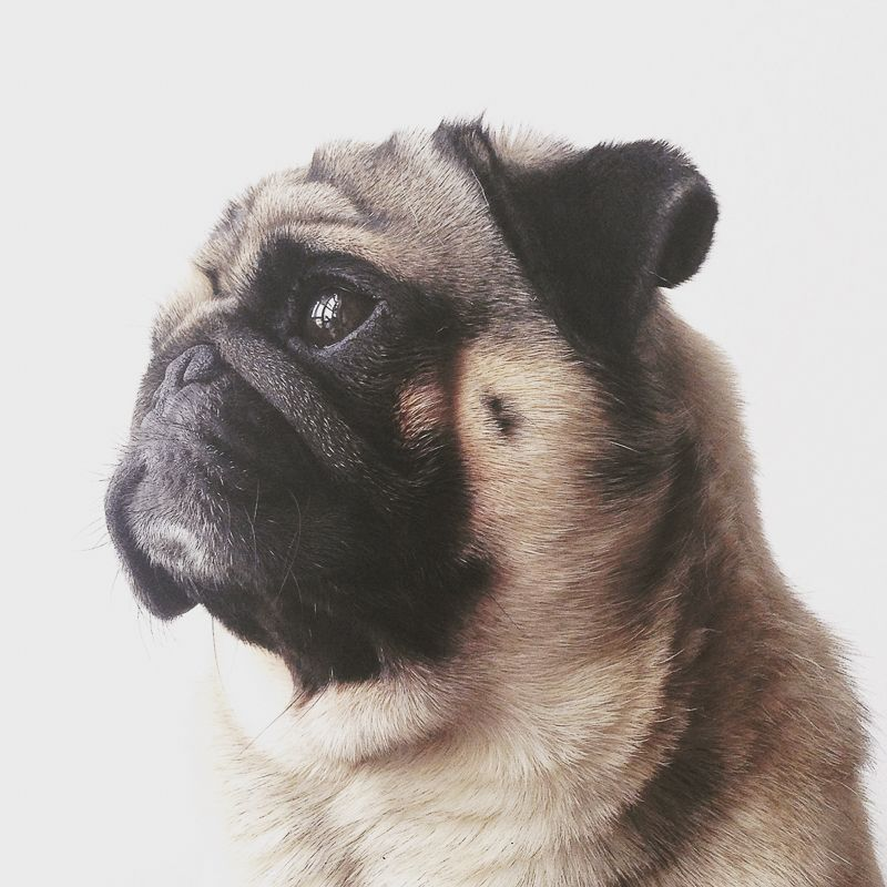 Mochi Socializing Dogs Pugs White Boxer Dogs