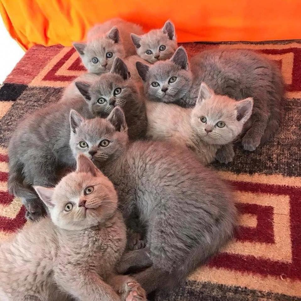 British Shorthair Wallpaper Russian Blue Cat British Shorthair Cats Cat Breeds