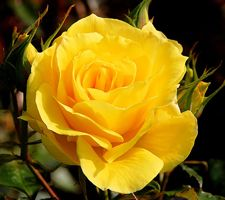 The Meaning Of The Color Of Roses Yellow Roses Send A Message Of