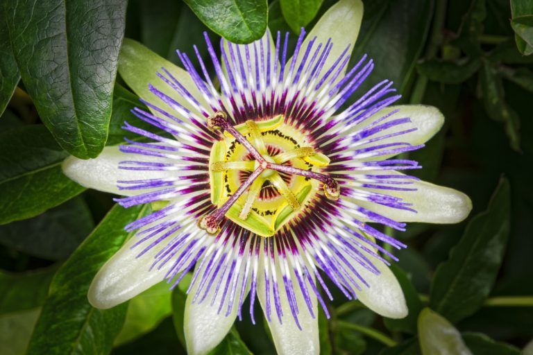 8 Health Benefits Of Passion Flower How To Use It Passion Flower Benefits Passion Flower Passion Fruit Flower