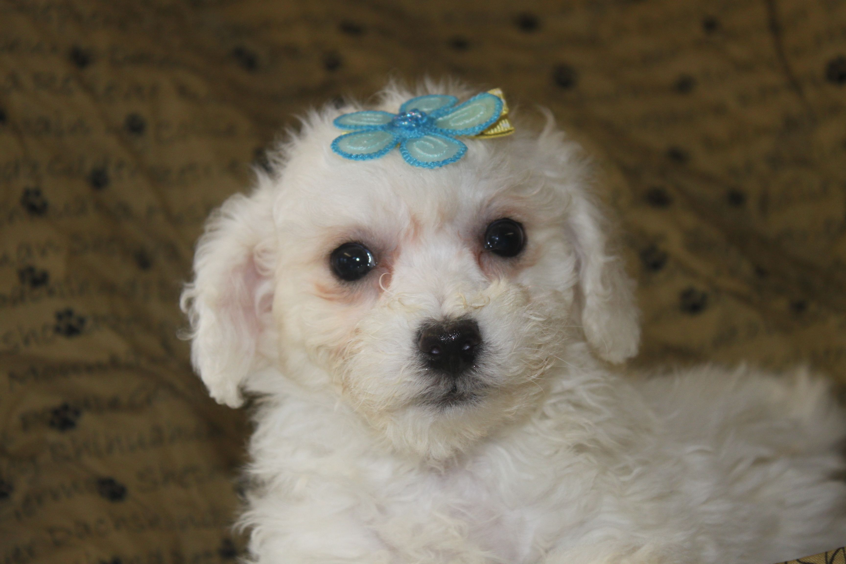 Pin by on Bichon Frise Puppies For Sale