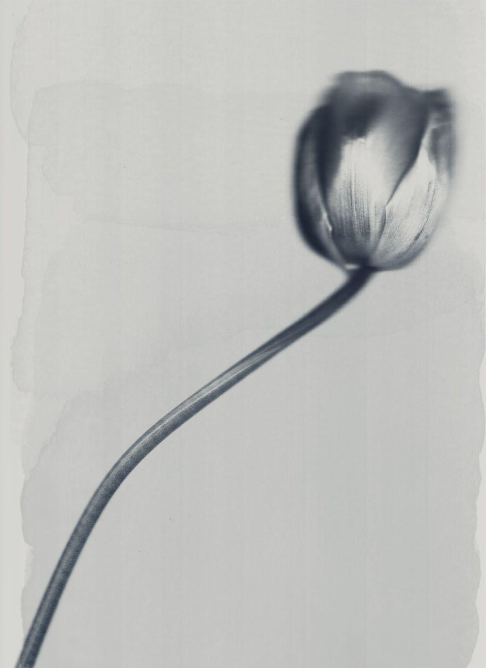 Silver tulip, alternative photography, alternative processing via digital darkroom, texture created by hand via artist grade materials.