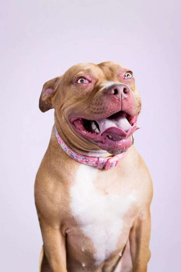 Adopt Rosie on (With images) Dog adoption, Bully breeds