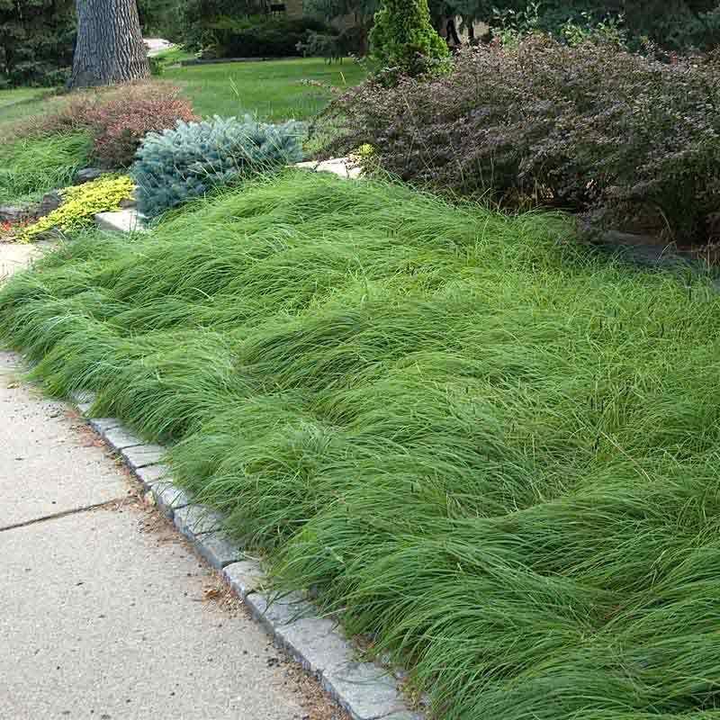 carex pennsylvanica round private garden ornamental grasses ground cover plants grass. Black Bedroom Furniture Sets. Home Design Ideas