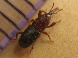 How To Get Rid Of Weevils Naturally Natural Insecticide How To Get Rid Weevils