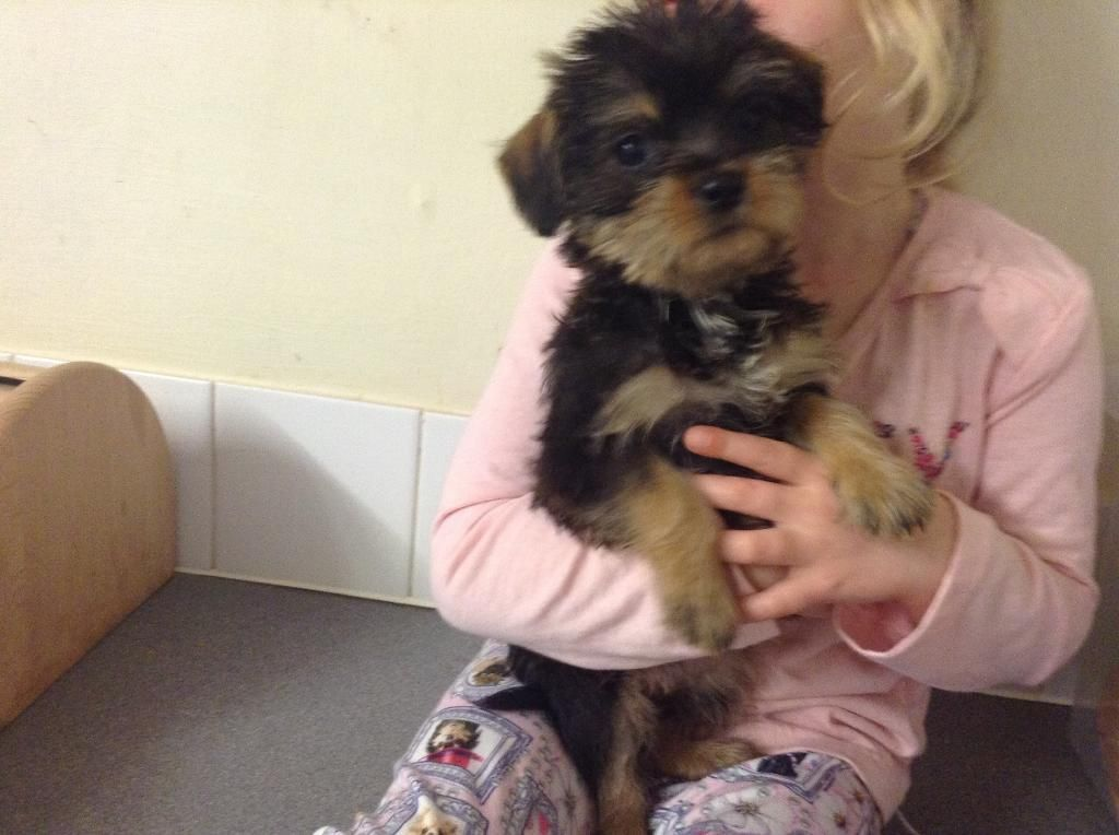 One Female Puppy Left United Kingdom Gumtree Puppies