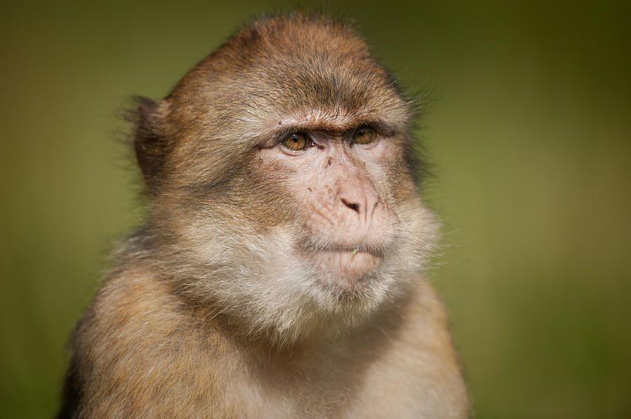 Barbary Macaque by Andy Astbury Macaque, Barbary, Primates
